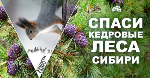 Гринпис призывает вас защитить кедровники России