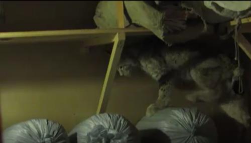 """В национальном парке """"Чикой"""" поймали рысь (видео)"""