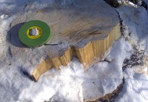 В Красночикойском лесу продолжается вырубка кедра