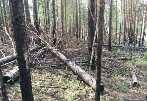 """Директор лагеря """"Лесная сказка"""" задержан за вырубку деревьев"""